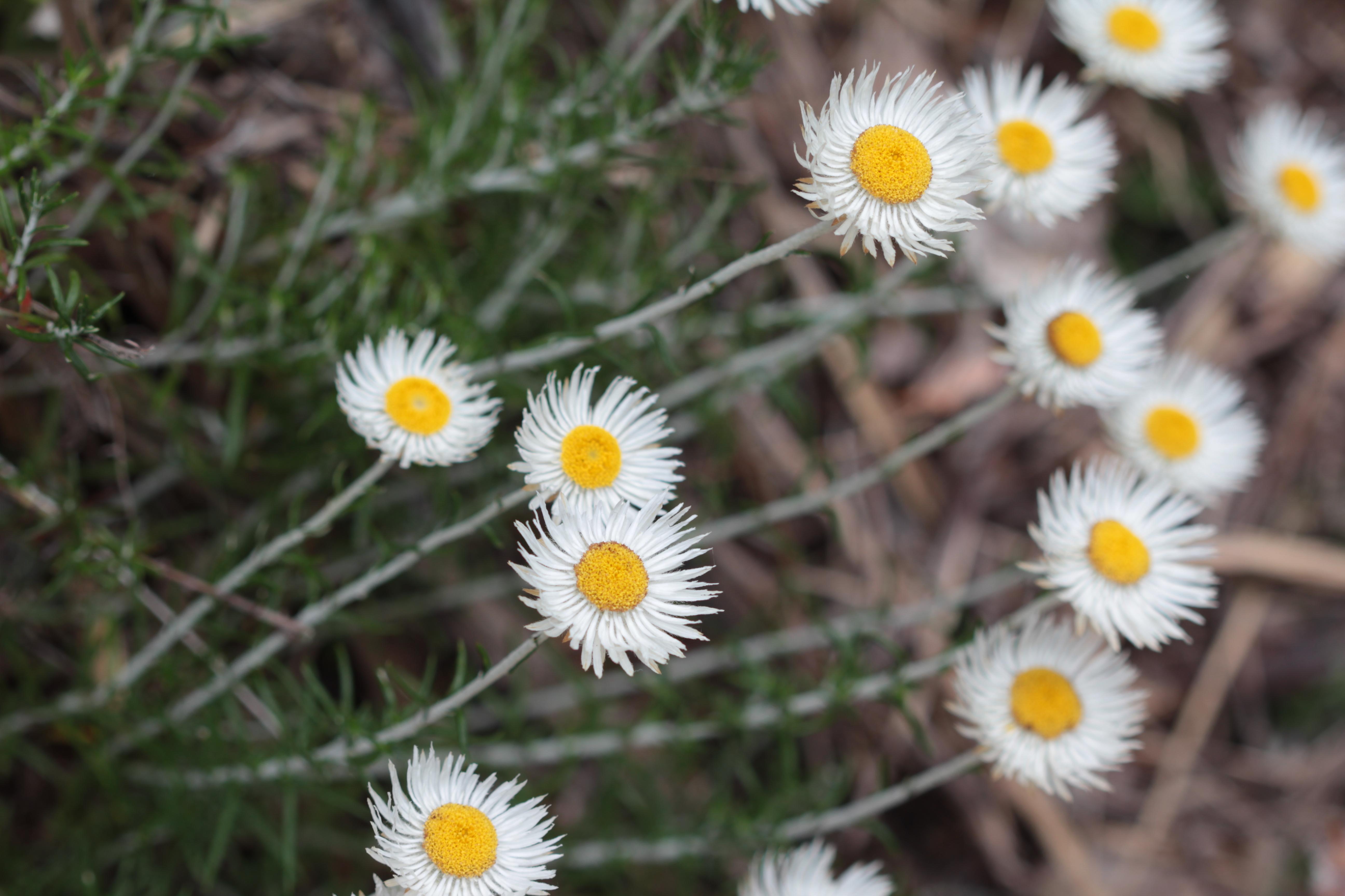 Native daisy