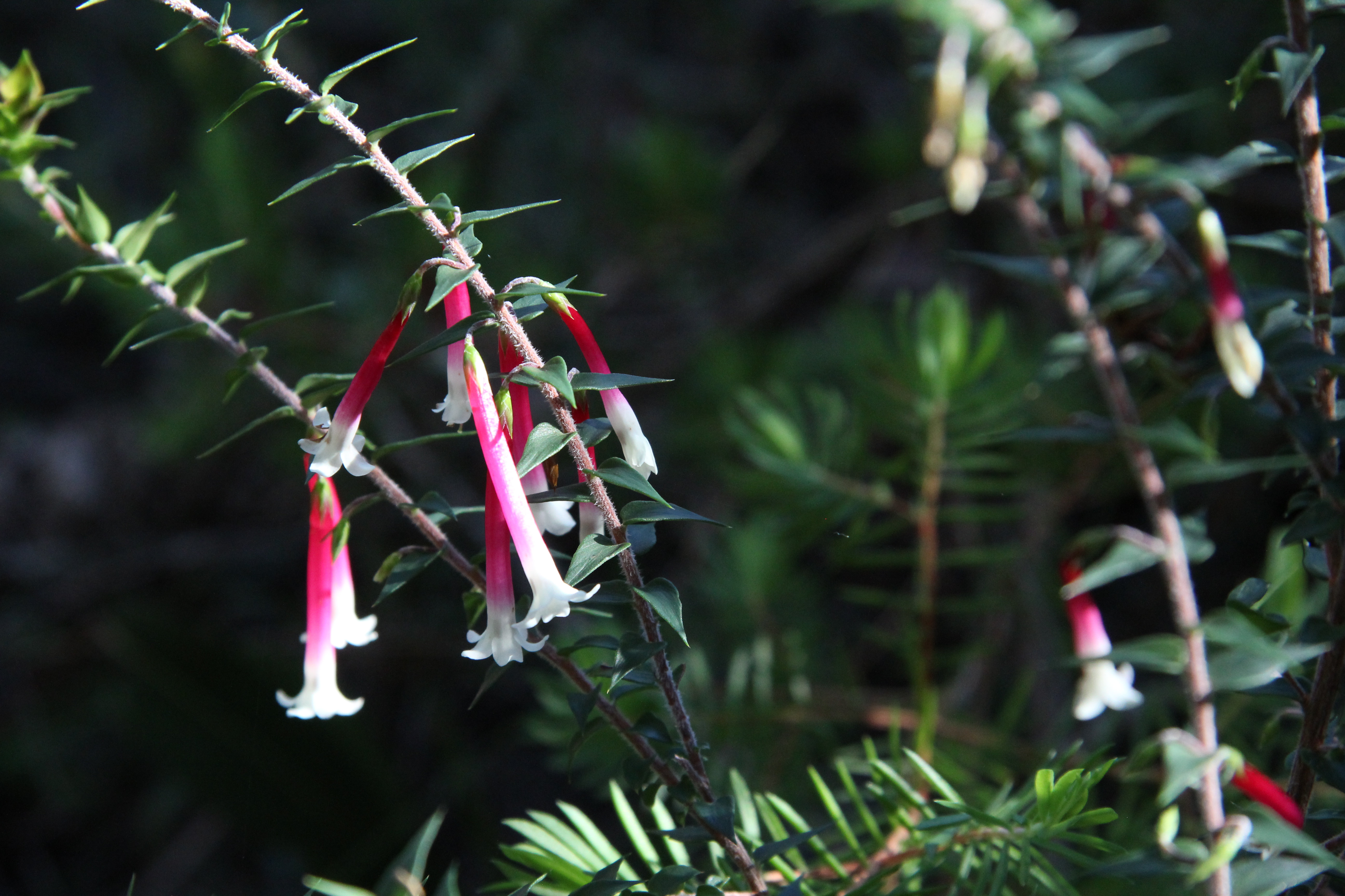 native christmas bells