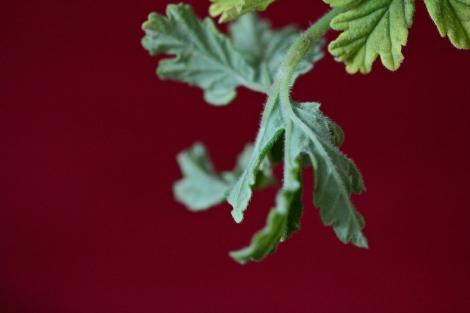 Curly geranium leaf