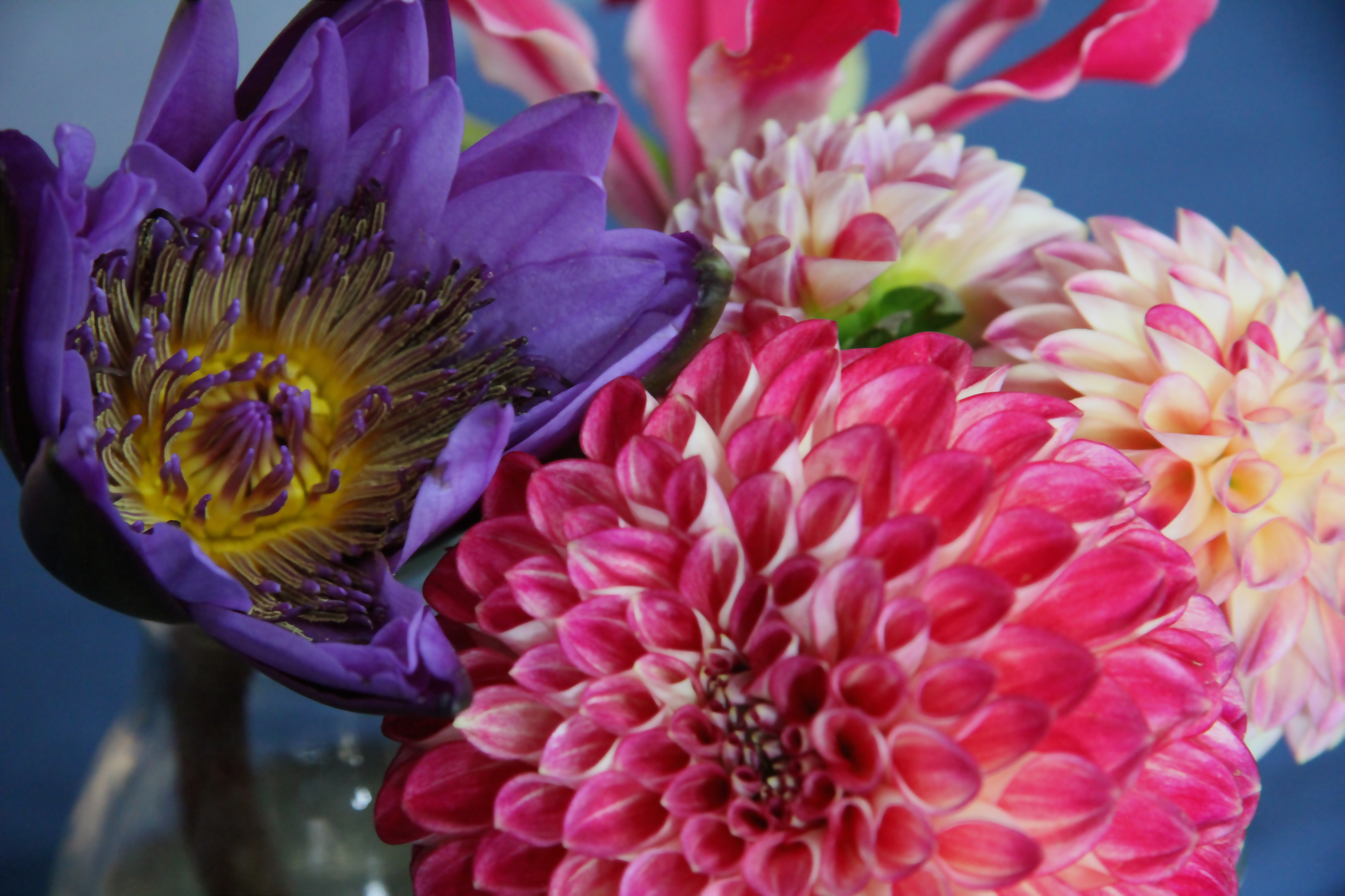 water lily and dahlia