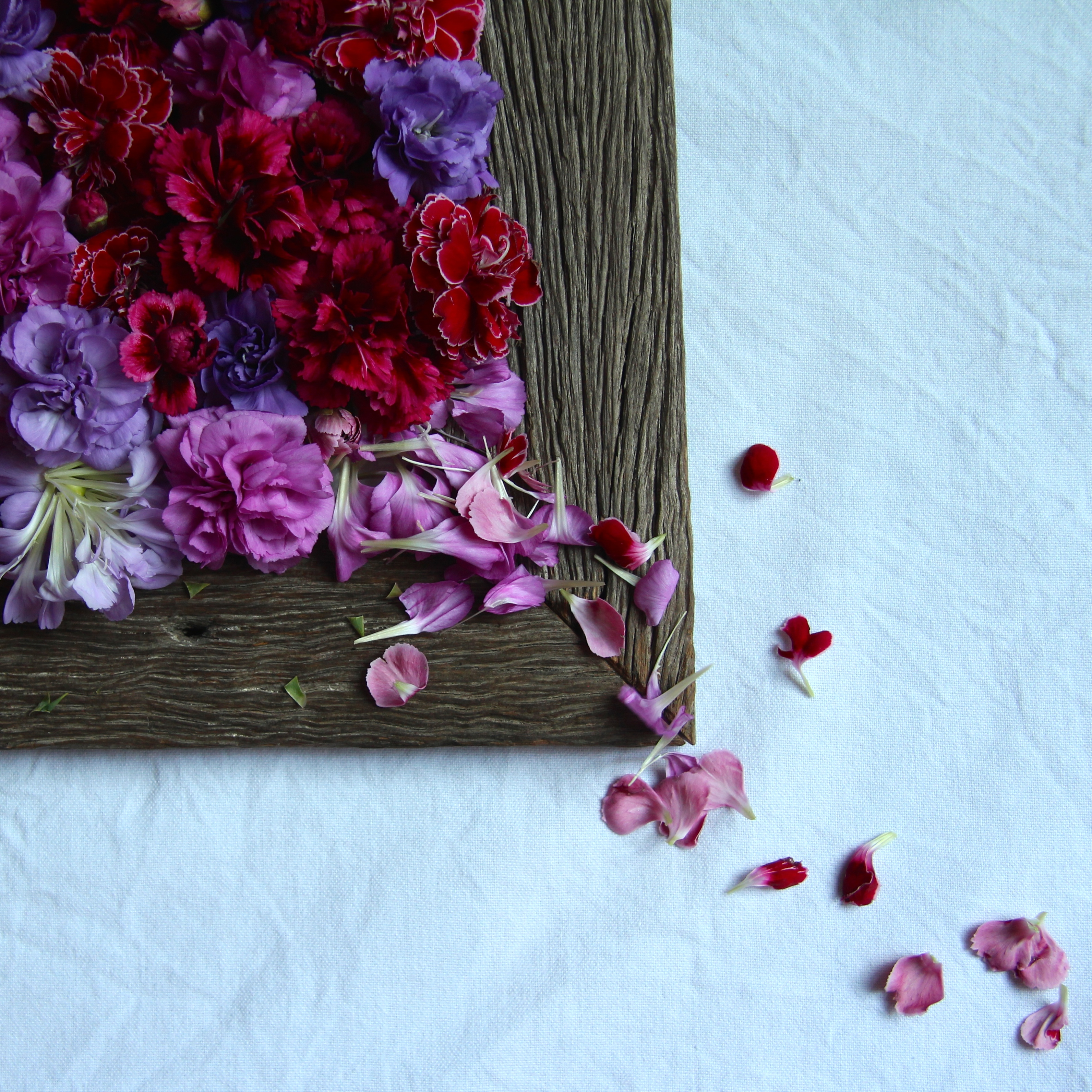 Carnation petals